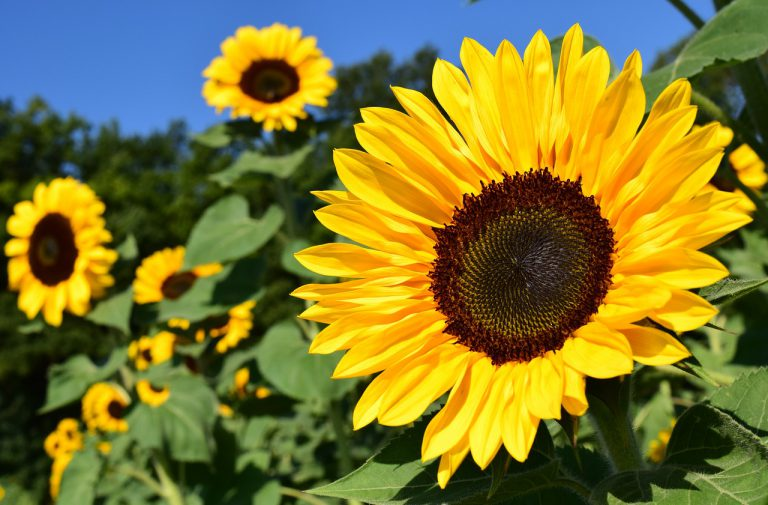 Fleur au Soleil gite Charente France